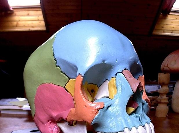 3d модель Череп для изучения анатомии для 3d принтера - скачать ... 9a664958e68a5